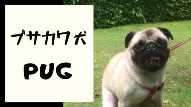 ブサカワ犬といえばパグ