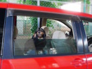 クルマに乗る犬