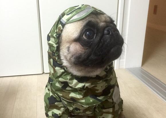 カッパを着るパグ